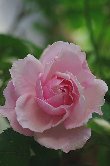 Hybrid Tea Rose: Rosa 'Verschuren' (Netherlands, 1904)
