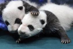 #Internacionales Panda gigante, excluido de lista de especies en peligro. http://noticiasdechiapas.com.mx/nota.php?id=88883 …