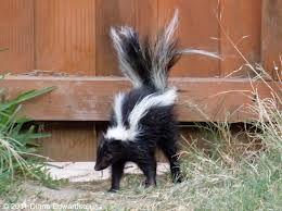 skunk control london ontario