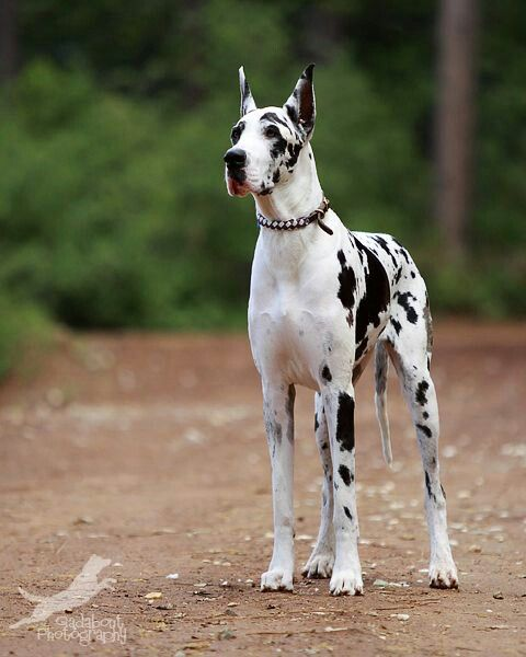 I would love to own this beauty. Harlequin Great Dane, with a pretty collar.