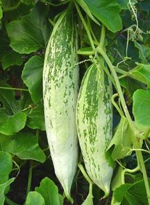 Snake Gourd, India Short - This Snake Gourd variety is native to India. Fruits have light greenish white skin with green stripe shoulder, about 12 inches long and 2.5 inches in diameter. The plant is very vigorous in warm climates and produces lots of fruits for a long time. Fruits are harvested when they are young and are very popular in Indian cooking.