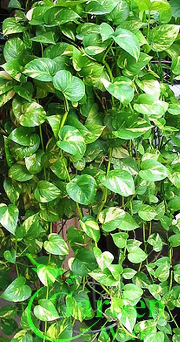 Golden Queen Pothos Vine - Devil's Snake Ivy Plant - House - Easy Care Low Light