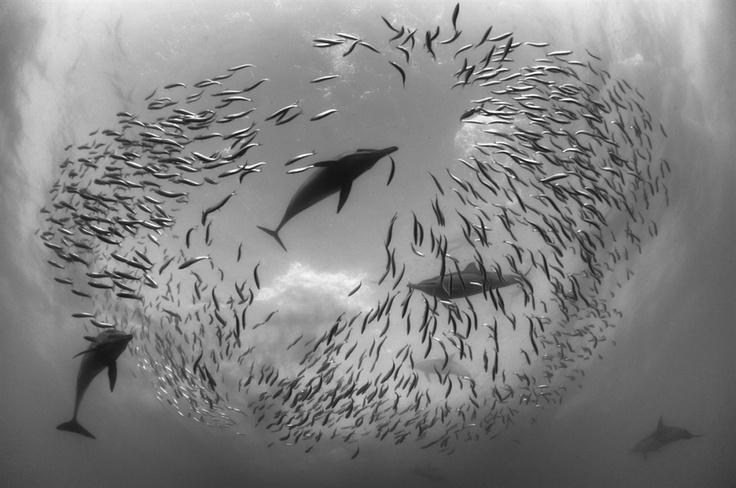 Sajtófotó 2011: Természet és tudomány - egyedi - 2. helyezett: Selmeczi Daniel (Red Sea Boats Holidays Kft.): Tánc