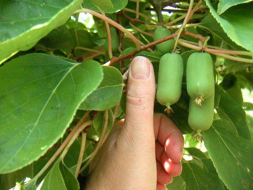 Kiwi Seeds ★ CHICO ACTINIDIA ARGUTA ★ Rare, Sweet Fruit ★ GMO FREE ★ 25 Seeds