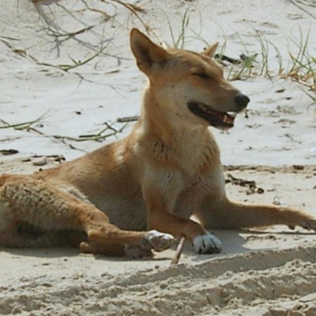 Dingo, Fraser Island, Australia #fraserisland #queensland #australia https://www.facebook.com/cooldingotour
