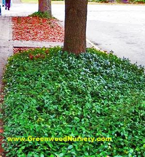 Vinca Minor Evergreen Ground Cover - Fast growing