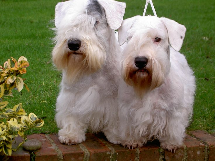 Sealyham Terriers played George & Stanley in Hitchcock