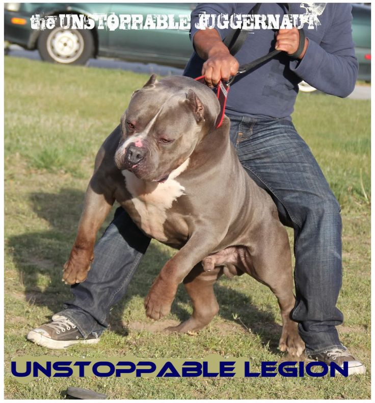 Best HULK The Pit Bull Images On Pinterest Big Pitbull Hulk - The worlds biggest pit bull just became a dad wait until you see his puppies