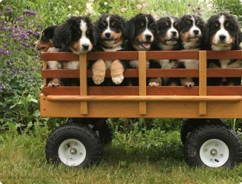 Bernese Mountain Dog Puppies For Sale New England
