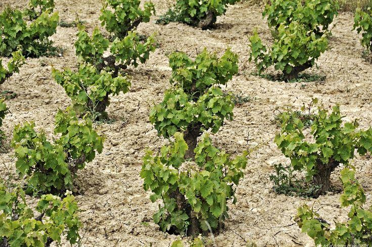Η Λήμνος, το νησί του Ηφαίστου, είναι γνωστή για τα κρασιά της από την αρχαιότητα. Και παρότι η φήμη της βασίστηκε στα ερυθρά κρασιά της, από τη γηγενή ποικιλία Λημνιό ή Καλαμπάκι, ο περισσότερος κόσμος σήμερα την γνωρίζει χάρη στο αρωματικό γλυκό της Μοσχάτο.