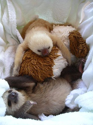sloth cuddle puddle- why don't we keep sloths as pets? WHY?