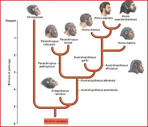 phylogenetic tree of hominid evolution - Google Search
