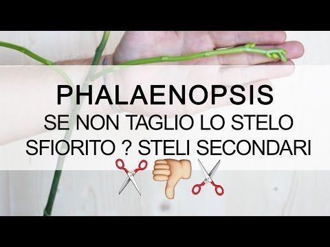 Orchidea Phalaenopsis - E se non taglio lo stelo sfiorito ? #1 steli secondari - YouTube