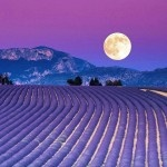 lavender fields...want to go there some day