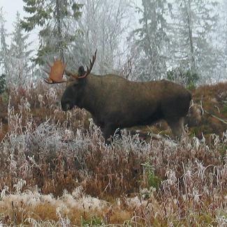 Moose in Lierne, Norway https://www.inatur.no/storviltjakt/5106b279e4b0acad6c0e269d/muru-ostre-a-elgjakt-i-lierne   Inatur.no