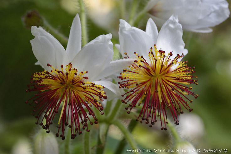 Sparmannia africana L. F.