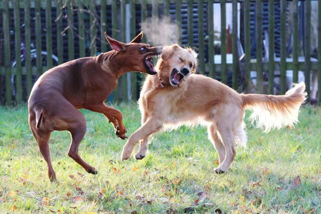 Can dog fights be avoided? Learn how to prevent dog fighting and find out when you should intervene in a dog fight.