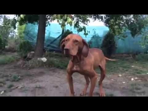 Remény a gyógyulás útján - Videóval!  #vizsla #állatmentés #kutya #dog #rescue #video #kutyabaráthelyek #kutyabarathelyek