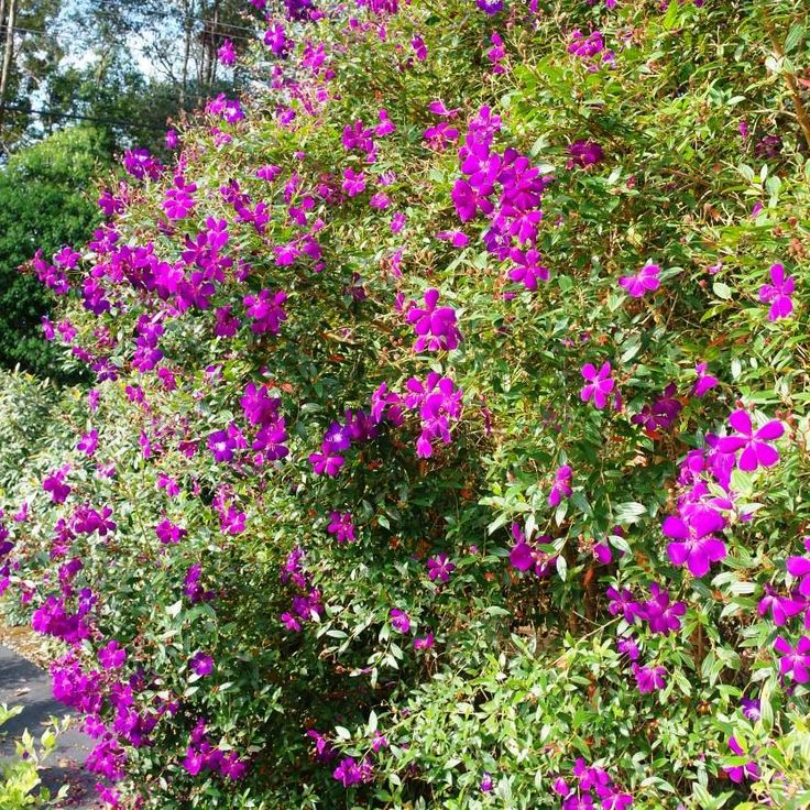 Tibouchina Jazzie - Jazzie Lasiandra is a small, delightful tree ideal for most garden settings and styles. She's a bit of a show off, with beautiful, bright purple flowers during the warmer months, all of which contributes to her being such a popular variety. www.divineplantsonline.com.au