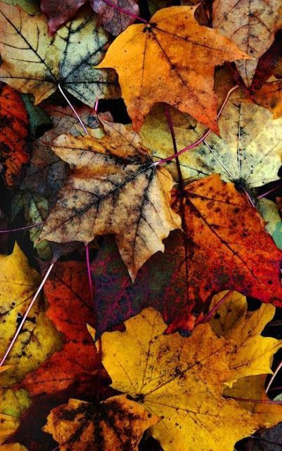 photo of fallen maple leaves ... inspirations for colors on cards and leaf die cuts ....