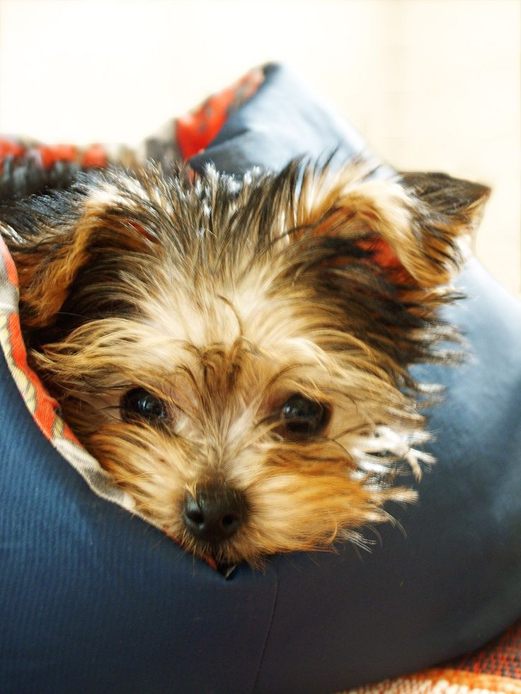 This Yorkie looks like my Charlie; adorable on the outside, devil dog on the inside.