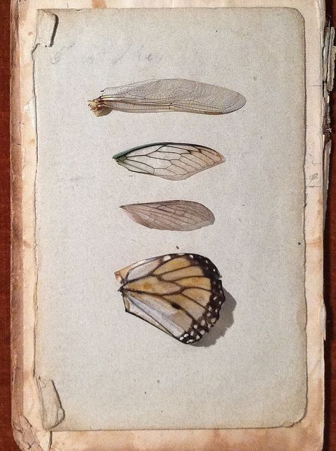 Wings Study 1 by Catherine O'Meara: collection of insect wings on old book page.