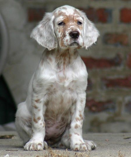 english setter pictures | Addison the English Setter Pictures 245364