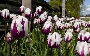 'Zurel' tulips - How to grow tulips