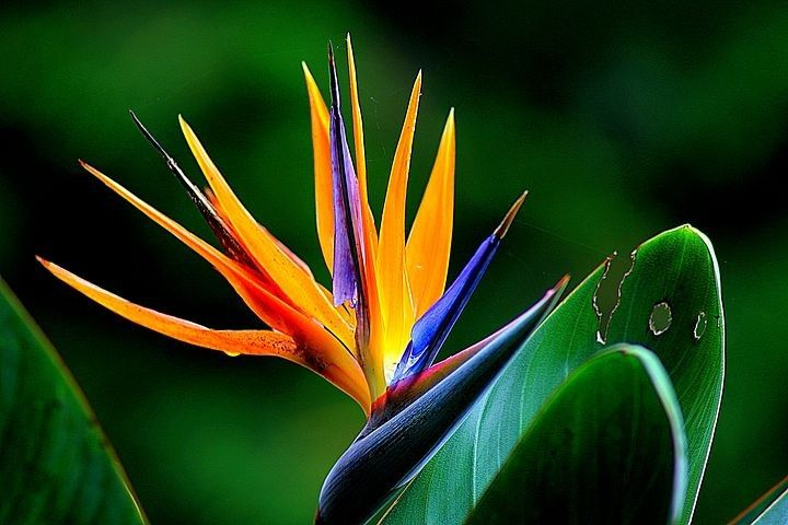 Pin By Lorndein On Watercolor Paradise Flowers Birds Of Paradise Flower Birds Of Paradise Plant