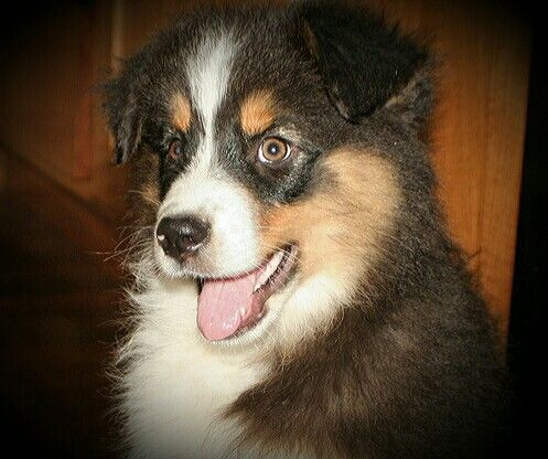 Australian Shepherd puppy black tri
