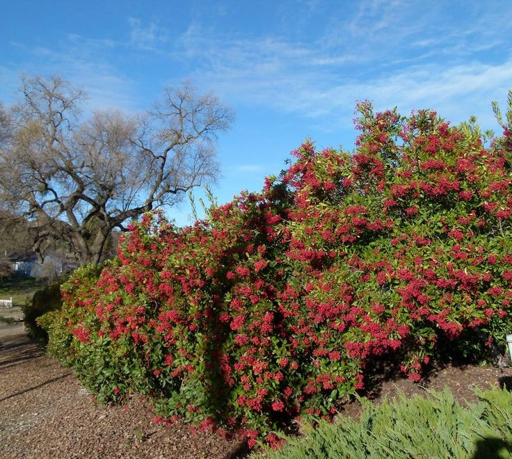 23 best drought tolerant plants images on pinterest for Drought tolerant trees