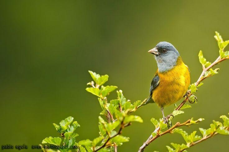 mis fotos de aves: Comesebo patagónico [Phrygilus patagonicus] Patago...
