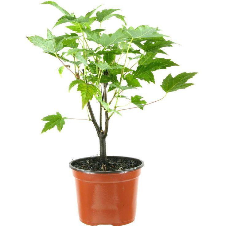 Jungpflanze, Acer saccharinum, Silberahorn, 4 Jahre