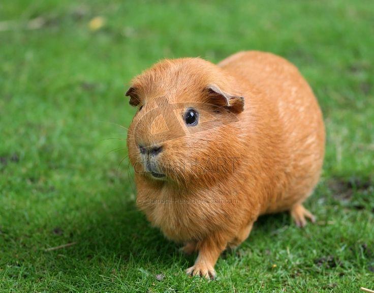 Guinea Pig Behaviour  Jackies Guinea Piggies