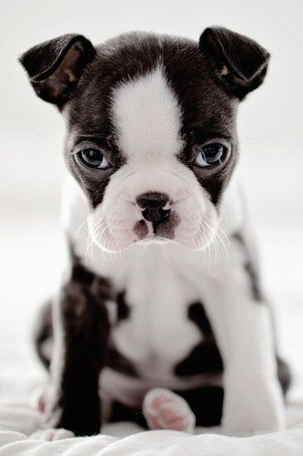 Adorable cute puppy in black and white color looking so sweetly