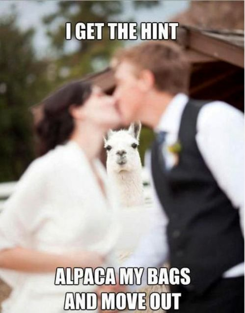 :D: Photobomb, Llamallama, Bombs, Burning Flames, Funny, Wedding Photo, Alpacas, Wedding Pictures, Animal