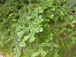 Selaginella kraussiana - Musgo-tapete, Selaginela - Da mesma família das samambaias, o musgo-tapete é uma planta rasteira, de folhagem delicada, verde vibrante. Muito utilizada em locais sombreados como forração, ou em maciços e bordaduras. Cultivado sob sombra ou meia-sombra.