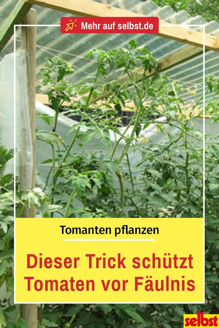 Tomaten Selber Ziehen Selbst De Tomaten Gewachshaus Garten Pflanzen Tomaten Pflanzen