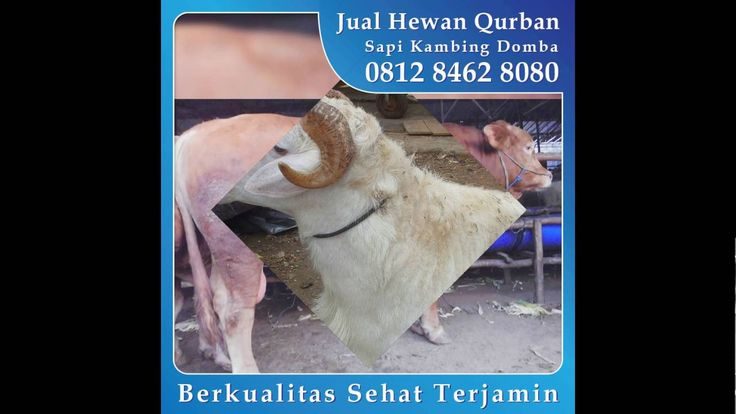0812 8462 8080 (Tsel), Jual Hewan Qurban di Rawamangun Rawasari Pramuka Salemba