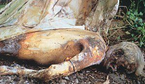 A body at the Body Farm at the University of Tennessee (there are 5 facilities in the U.S.).  This is a research facility that studies various states of decomposition-- under different conditions (weather, shaded, direct sunlight etc.).  The body farms exist to gain a better understanding of the decomposition process, particularly within the study of forensic anthropology.