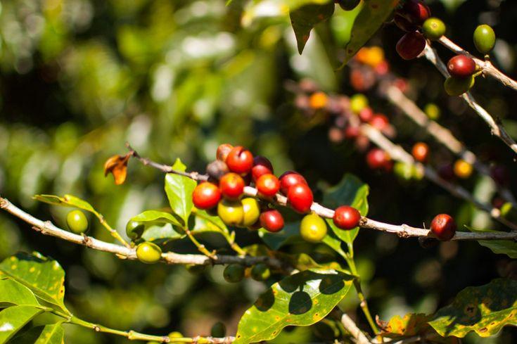 #Cafetales colombianos. Descubre como hacen el #cafe en #quindio,  #colombia  y como se disfruta en #desarrolloperegrino
