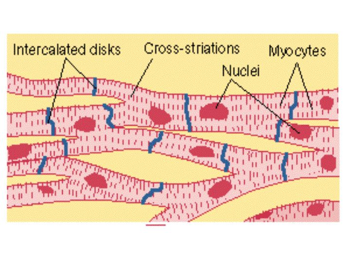 the 25+ best ideas about cardiac muscle cell on pinterest, Muscles