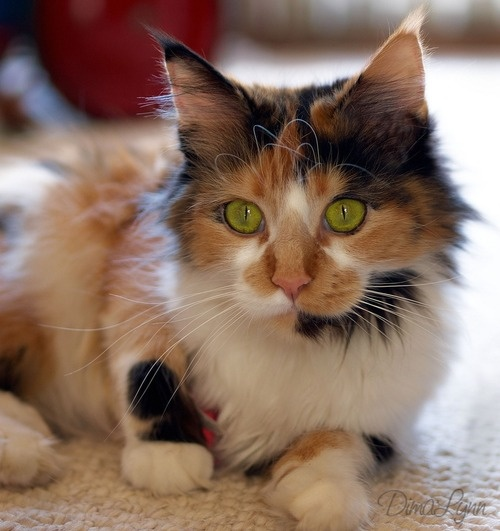 192 best Calico Cats ~ My Fav images on Pinterest