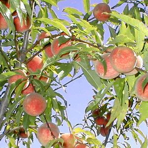 Iowa Indian White Freestone Native Peach Tree A Unique It Doesn T Self Pollinate So 2 4 Trees Can Be Planted 1 Ft Apart Pruned As Fruits