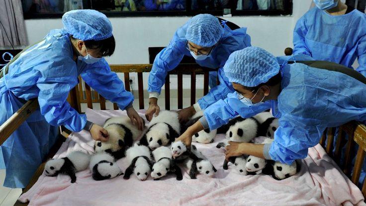 Brace Yourself for a Panda Cub Palooza