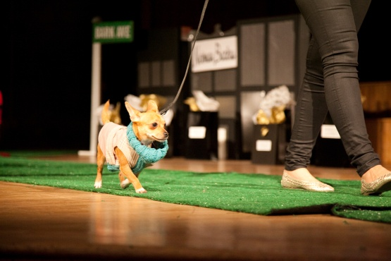 Swift, a 7 month old Chihuahua mix from the Bideawee Animal Shelter, walks the green carpet for a canine fashion show in New York.: Animal Shelters, Bideawe Animal