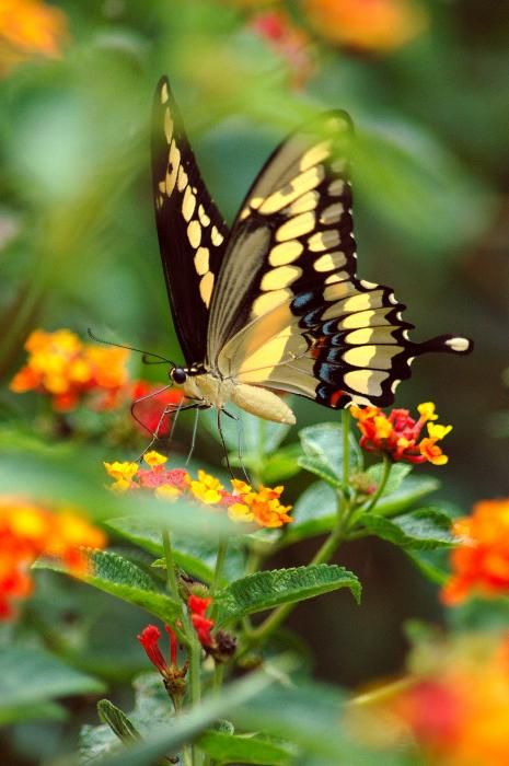 Yellow Swallowtail Butterfly On Lantana