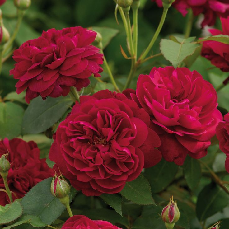 Darcey Bussell - Potted Roses