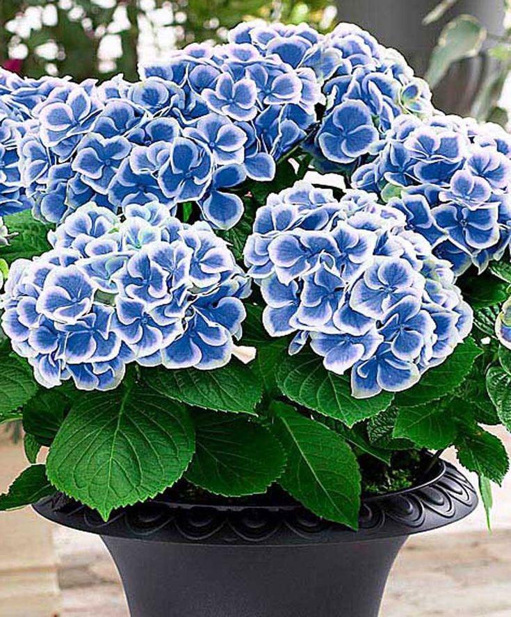 best  hydrangeas ideas on   hydrangea, hydrangea bush, Beautiful flower