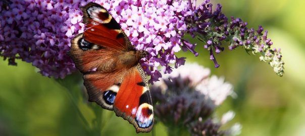 A Peacock butterfly, which is also known by its scientific name of Aglais io, is feeding on Buddleja davidii.